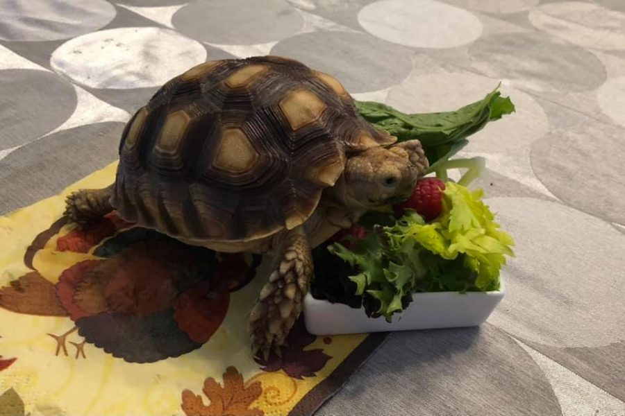 The North Alabama Zoological Society's turtle, Twickenham, nibbles on his lunch.